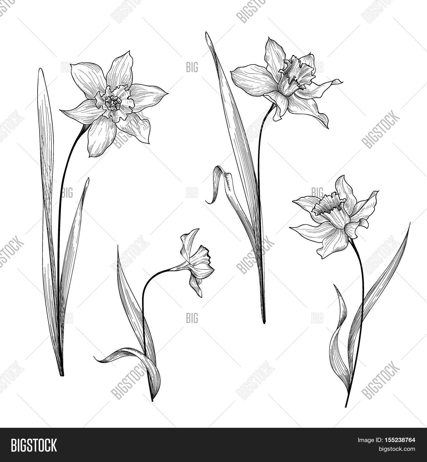 Flower garden sketch - Flower Daffodil Botanical Engraving Background Floral Ornamental Design Element For