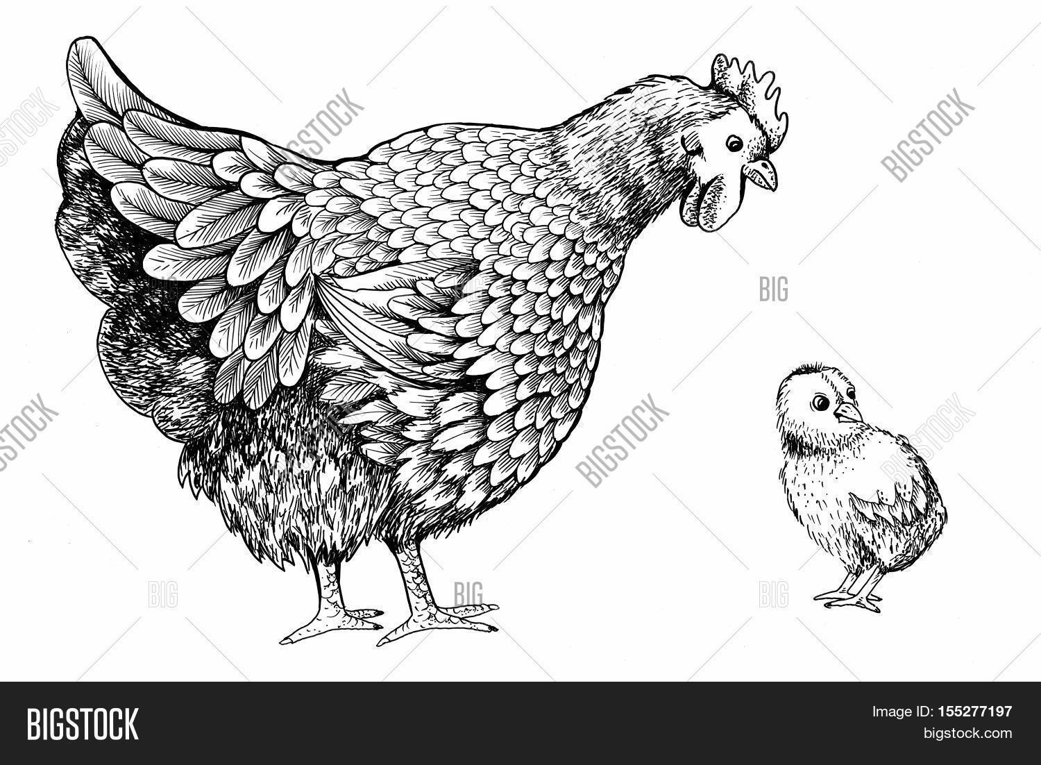 Illustration Little Chicken Hen Image  Photo  Bigstock