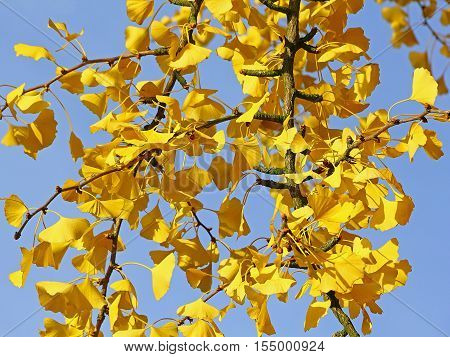 Leaves of Ginkgo tree in autumn - selected focus narrow depth of field