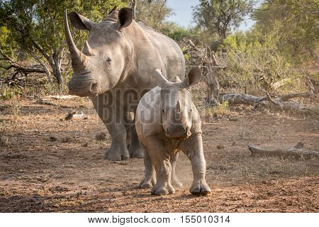 Baby White Rhino With His Mother.