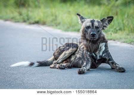 African Wild Dog Laying In The Road.