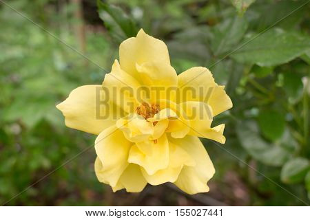 Yellow roses bush in the garden stock photo