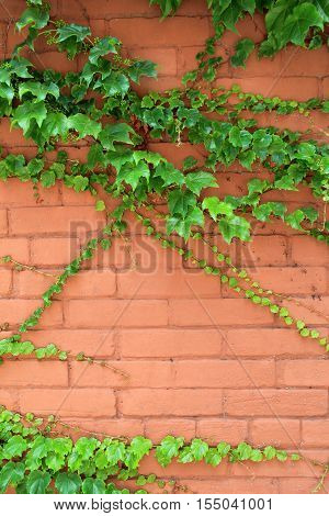 Vertical image of brick wall with healthy green vines creeping across the face of it.