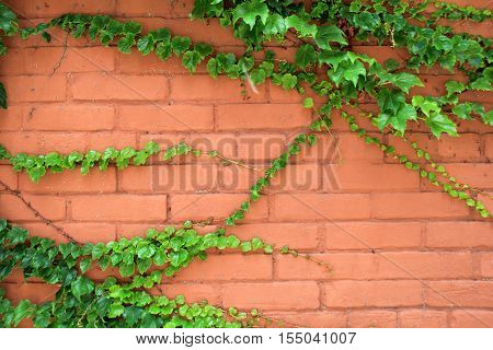 Old,weathered brick wall with healthy green vines creeping  across the face of it.