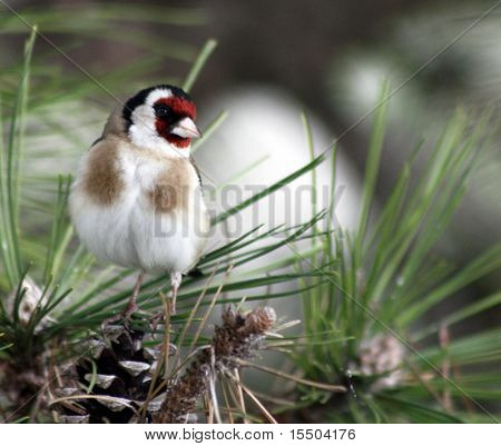 Little European Goldfinch Bird