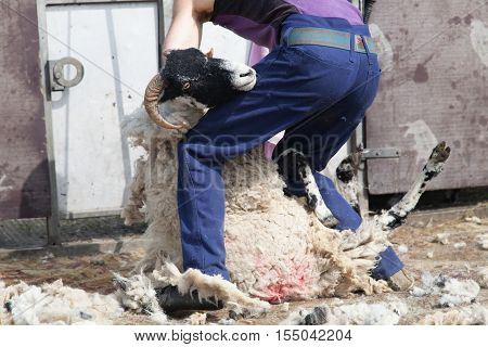 man shearing a sheep in a field the sheep is pinned between his legs.