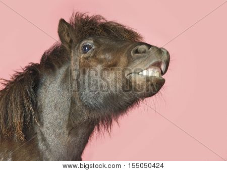Closeup of a snarling horse against pink background