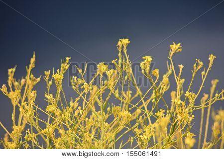 yellow rape flowers under a stormy sky