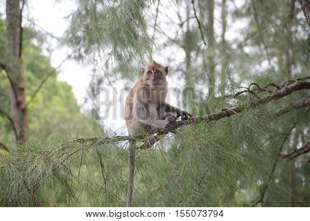 Monkey In Natural Yong Ling Beach Thailand