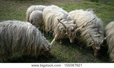 Magyar racka juh család legelés közben, tavasszal