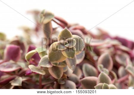 Crassula Marginalis Fleshy Leaves