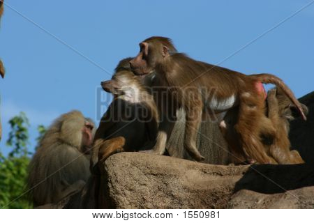 Baboons On Monkey-Rock