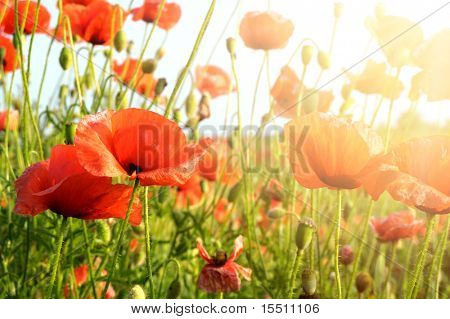 red poppies in rays sun