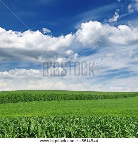 corn field and blue sky