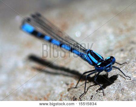 Blue Damselfly close-up
