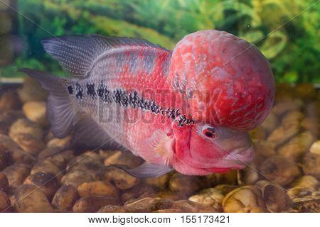 Single flower horn cichlid in an aquarium