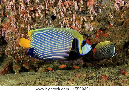 Emperor Angelfish fish and coral reef