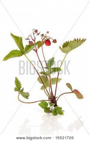 Wild Strawberry Plant