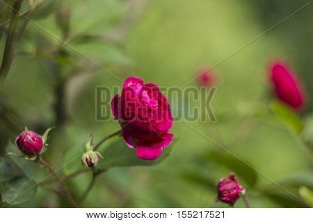 Shrub roses flowers pink in summer garden