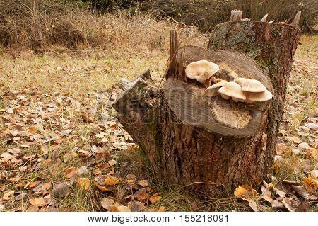 Autumn mushrooms around an old stump. Autumn in the garden. Old apple tree stump.