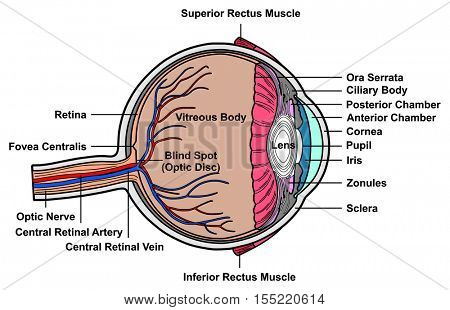 Human Eye Cross Section Anatomy with all parts Anatomical Structure Artery, Vein, Nerve, Muscles, Pupil, Iris, Cornea, Lens, Blind Spot, Retina, Vitreous Ciliary Body, Fovea Centralis, Chambers
