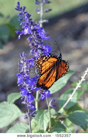 Monarch Butterfly V