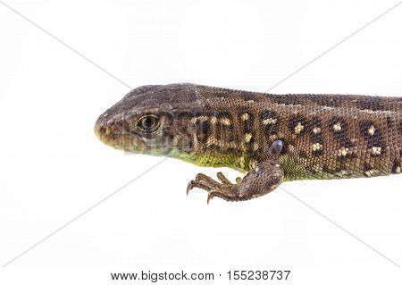 Lizard (Lacerta agilis) with tick (Ixodes ricinus) isolated on a white background