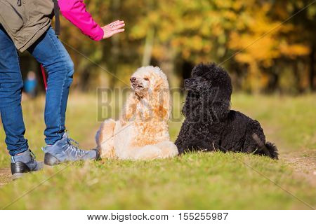 Woman Giving Command To Poodles
