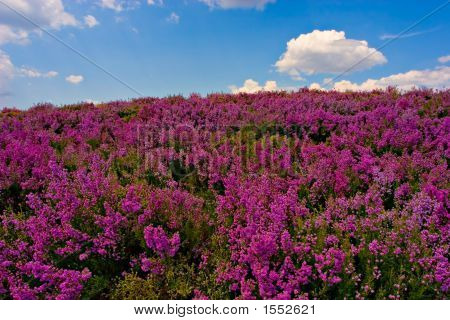 Purple Flowered Field