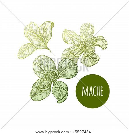 Lettuce mache. Plant isolated on white background. Vector illustration. Hand drawing style vintage engraving. Greenery for create the menu recipes decorating kitchen items. Vintage.