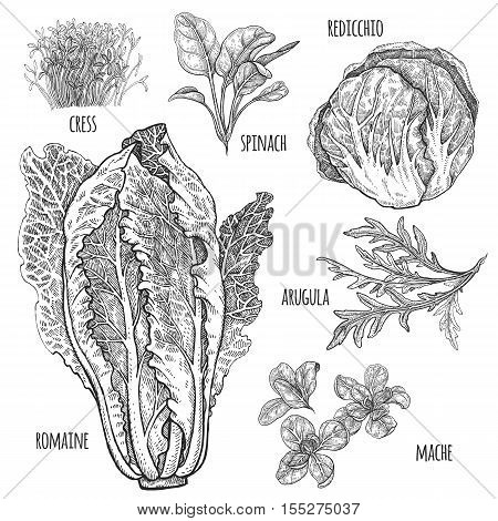 Lettuce set. Romaine redicchio mache spinach cress arugula. Vintage vector illustration. Hand drawing style vintage engraving. Black and white. For create menu recipes decorating kitchen items.