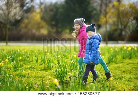 Two Little Sisters Picking Daffodil Flowers On Beautiful Blooming Daffodil Meadow
