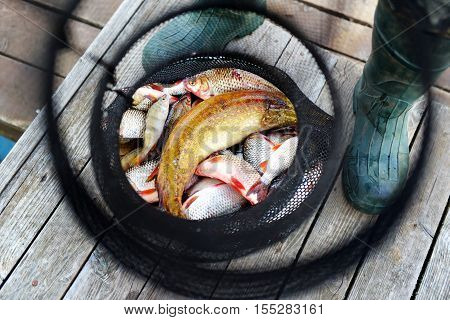 Freshly Caught Fish In Fishing Net On Wooden Background