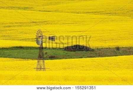 Windmill In A Field Of Canola