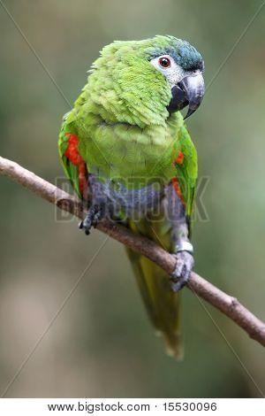 Hahn's Macaw Parrot