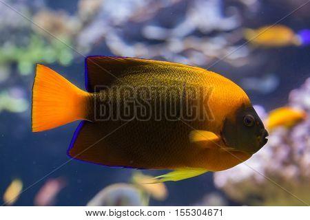 Clarion angelfish (Holacanthus clarionensis). Marine fish.