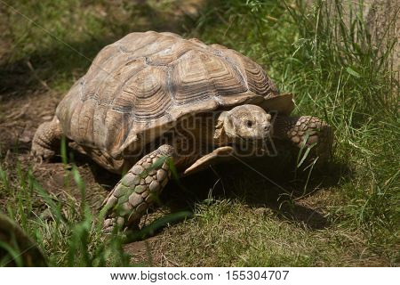 African spurred tortoise (Centrochelys sulcata), also known as the sulcata tortoise. Wildlife animal.
