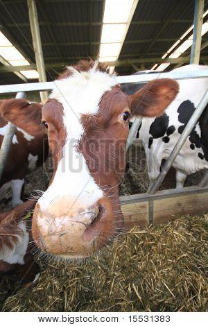 close bovine