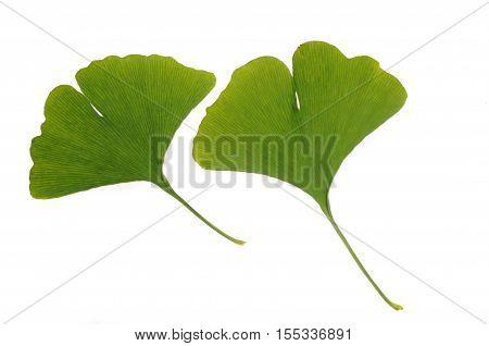 green leaf of ginkgo (Ginkgo biloba) isolated on white
