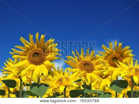 Sunflowers in the sun against a blue sky.