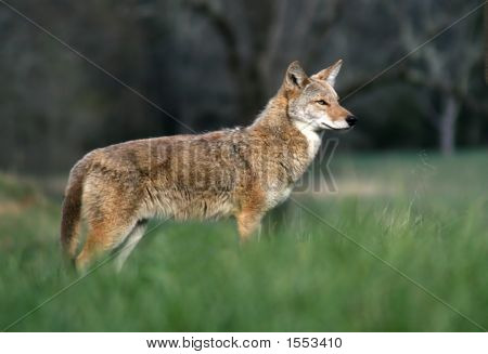 Coyote In The Cove