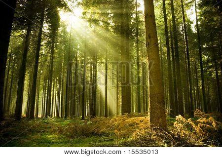 Pinienwald mit letzterer die Sonne durch die Bäume.