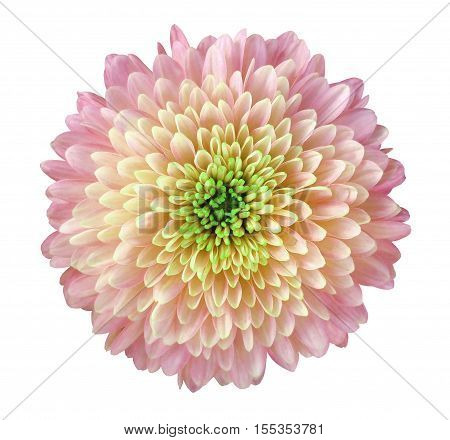 light pink-yellow flower chrysanthemum garden flower white isolated background with clipping path. Closeup. no shadows. green centre. Nature.