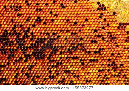 Natural beebread in honeycombs ambrosia apitherapy nutritional