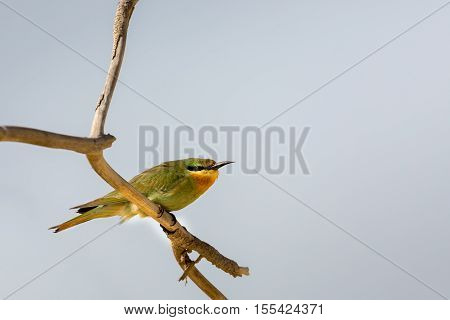 A Blue-cheeked Bee-Eater perched on a branch of a tree in Bahrain