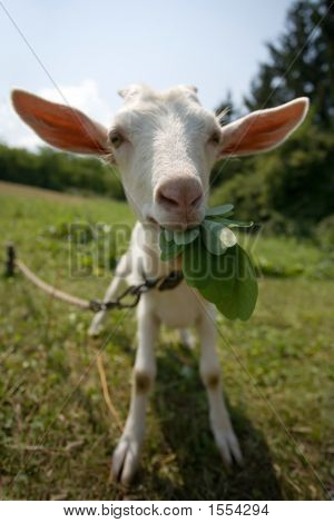 White Goat, Focus On His Nose
