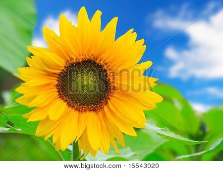 beautiful sunflower with green leaves