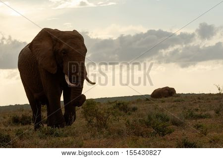 Bush Elephant Walking To Find A Spot To Rest For The Night.