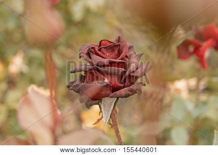 Withered Deep Red Rose in the garden side view. Dry dead rose flower on rosebush. Autumn season dying plants.