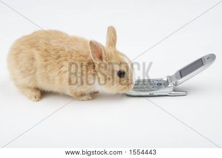 Marrom-branco coelho com telefone móvel isolado no branco